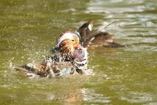 Free Mandarin Duck Drake Royalty Free Stock Photo - 17505655