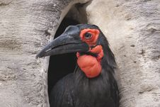Free Cafer Or Southern Ground Hornbill Royalty Free Stock Images - 17505759