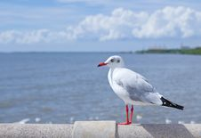 Free Seagull Standing On Concrete Royalty Free Stock Photography - 17506027