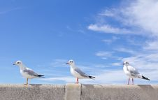 Free Seagull Standing On Concrete Royalty Free Stock Photography - 17506057