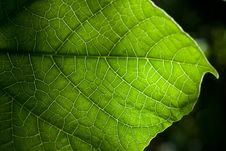 Free Green Leaf Stock Image - 17508871