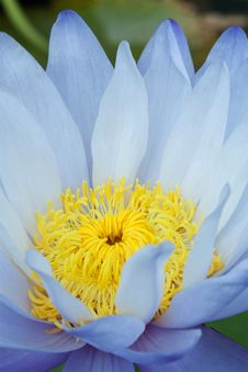 Free Blue Lotus Royalty Free Stock Photo - 17508975