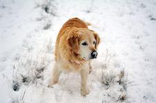 Free Golden Retriever In The Snow Stock Photo - 17510620