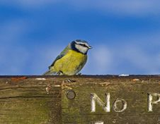 Free Blue Tit On Fence Royalty Free Stock Photo - 17510975