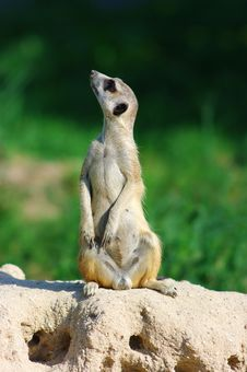 Free Suricate Stock Photos - 17511853