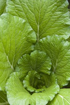 Free Chinese Cabbage Royalty Free Stock Image - 17513796