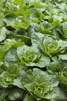 Free Lettuce Stock Photos - 17513873