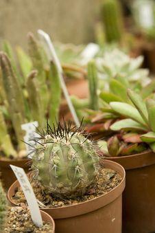 Cacti Nursery Royalty Free Stock Photography