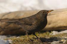 Free Common Blackbird, Turdus Merula Stock Images - 17517154