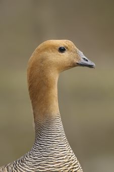Upland Goose Or Magellan Goose - Chloephaga Picta Stock Photo