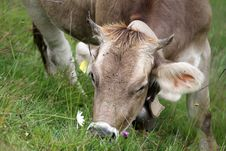Free Milk Cow In A Bent Grass Royalty Free Stock Photo - 17517715