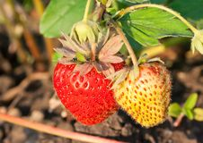 Free Strawberries In The Garden Stock Photography - 17517922