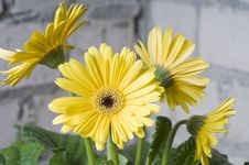 Free Yellow Daisy Stock Photography - 17519552