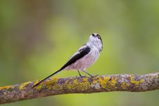Free Long-tailed Tit Royalty Free Stock Photography - 17519967