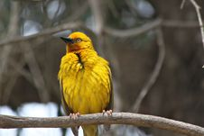 Free Cape Weaver Bird Royalty Free Stock Image - 17519986