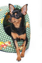Free A Toy Terrier In A Basket Royalty Free Stock Image - 17520006