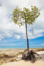 Free Mangrove Tree Stock Photo - 17526870