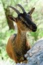 Free Goat Stock Photos - 17528713