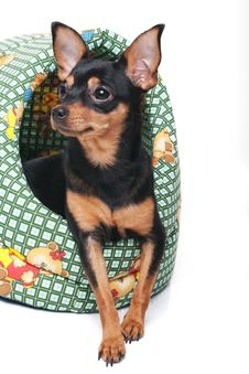 A Toy Terrier In A Basket Royalty Free Stock Image
