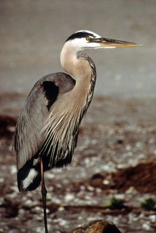 Free Great Blue Heron Royalty Free Stock Photography - 17521317