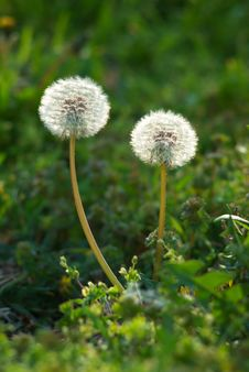 Free Two Dandelions Royalty Free Stock Images - 17521449