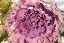 The Flower Cabbage Stock Image