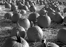 Free Field Of Pumpkins In Black And White Royalty Free Stock Photo - 17522455