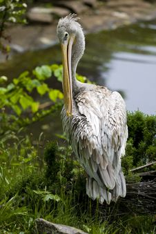 Free Pelican Stock Images - 17522634
