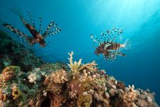 Free Lionfish And Ocean. Royalty Free Stock Photos - 17522688