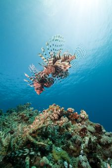 Free Lionfish And Ocean. Stock Photos - 17522783
