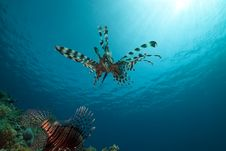 Free Lionfish And Ocean. Stock Photography - 17522892