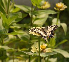 Free Machaon. Stock Images - 17523084