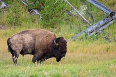 Free Mud Covered Bison, Yellowstone National Park Royalty Free Stock Images - 17523129