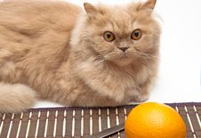 Free Cat And Orange Royalty Free Stock Images - 17523289