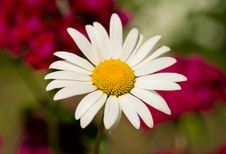Free Chamomile Against Flowers Background Royalty Free Stock Images - 17523489