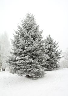 Free Winter Fir Tree Royalty Free Stock Photo - 17523705