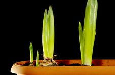 Free Tulip Sprouts Royalty Free Stock Photo - 17523745