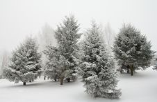 Free Fir Trees In Hoarfrost Royalty Free Stock Images - 17524379