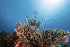 Free Lionfish And Ocean. Stock Photo - 17524590
