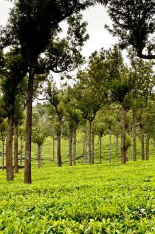Free Tea Plantation Royalty Free Stock Image - 17525436