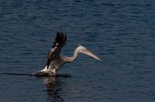 Free Spot Billed Pelican Royalty Free Stock Photo - 17525495