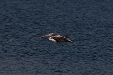 Free Spot Billed Pelican Royalty Free Stock Image - 17525496
