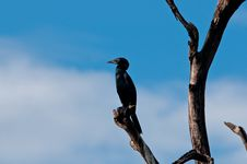 Free Cormorant Stock Photography - 17525542