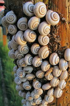 Free Tree Bark Invaded By Snails Royalty Free Stock Photography - 17525937