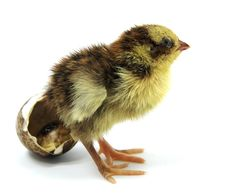Free Just A Hatched Nestling Quail Royalty Free Stock Images - 17526259