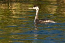 Free Great Crested Grebe, Juvenile Stock Photos - 17526383