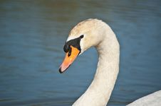 Free Mute Swan Profile Stock Photos - 17526603