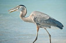 Great Blue Heron Eating A Fish On A Florida Beach Royalty Free Stock Image