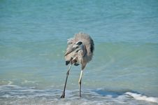 Great Blue Heron On A Florida Beach Royalty Free Stock Photo