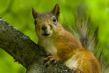 Free Beauty Squirrel Royalty Free Stock Photos - 17528828